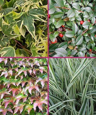 Ground Covers/ Yellow Ripple Ivy/ Bearberry/ Boston Ivy/ Ribbon Grass/ Canada
