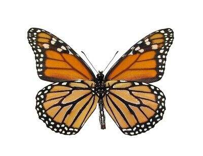 One North American Monarch Danaus Plexipus Butterfly Verso Wings Closed
