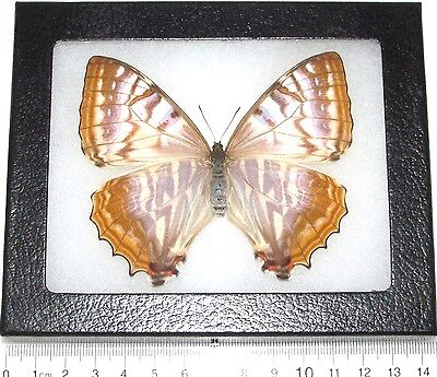 Real Framed Butterfly Morpho Sulkowski Female Pearl Peru