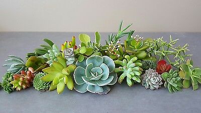 25 All Different Bulk Drought Tolerant Succulent MIX Cuttings