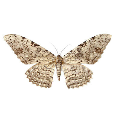 One Real White Witch Moth Thysania Agrippina Peru Unmounted Wings Closed