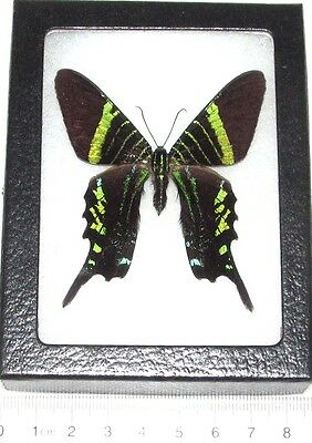 Real Framed Day Flying Moth Green Urania Fulgens