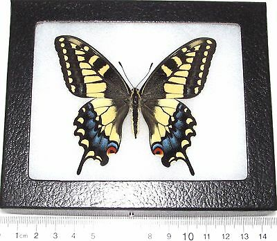 Real Framed Butterfly Papilio Machaon Bairdii/oregonius Yellow Form Female