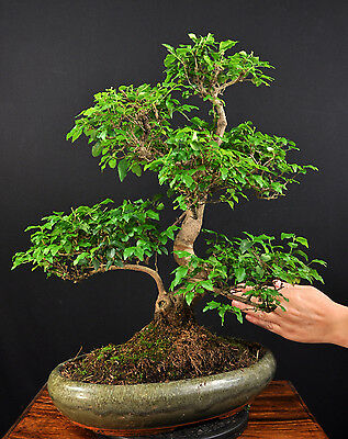 bonsai chinesischer liguster ligustrum sinensis indoor alt. Black Bedroom Furniture Sets. Home Design Ideas