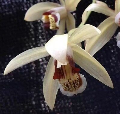 LSN. Species Orchid. Coelogyne tomentosa
