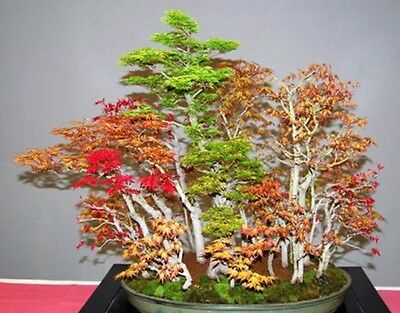 Acer Japanese Maple Small Leaf seeds Perfect as a bonsai! Hardy! mixed colours🌳