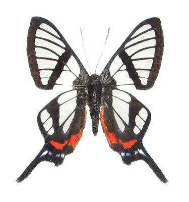 One Real Butterfly Clear Glass Wing Chorinea Sylphinia Unmounted Wings Closed