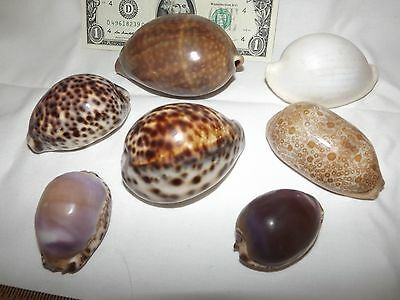 Shell Collection: 7 Cowrie Cypraea Seashells agus (70mm), cervus (90mm), tigris,