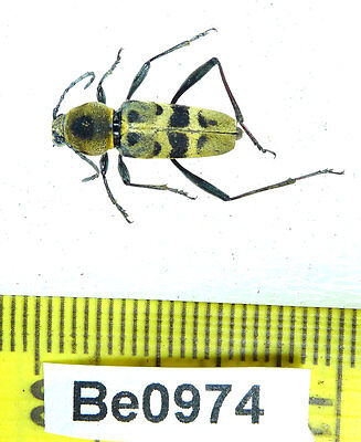 Be974 Cerambycidae Long Horn Beetle Real Insect Vietnam