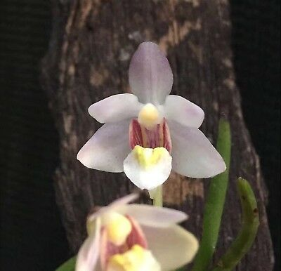 LSN. Species Orchid. Holcoglossum flavescens