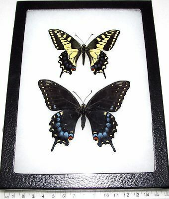 Real Framed Butterfly Utah Papilio Machaon Bairdii Pair Male Female