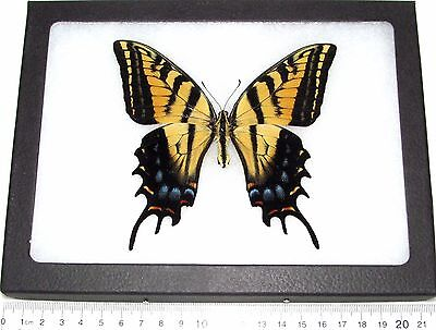 Real Framed Butterfly Papilio Multicaudata Two Tailed Swallowtail Arizona