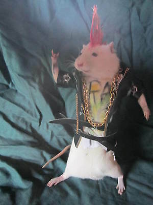 taxidermie rat punk  taxidermy rat large  cabinet de curiosité oddities