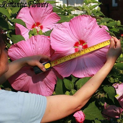 200 Giant Hibiscus Flower Seeds Hardy ,Mix Color, DIY Home Garden potted or yard