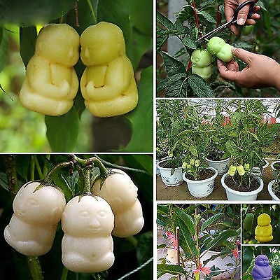 10pcs 1 Pack Rare Delicious ginseng fruit Seeds Vegetables Fruit Plant Seed New