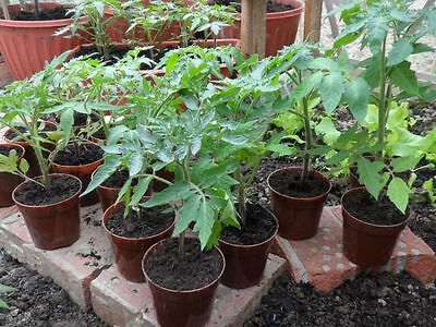 Tomato Tom Thumb Pot Of Four Or More Healthy Plants To Plant Out