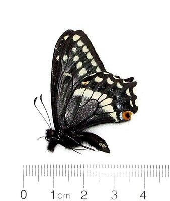 Real Butterfly Papilio Indra Indra A1 Idaho Unmounted Papered