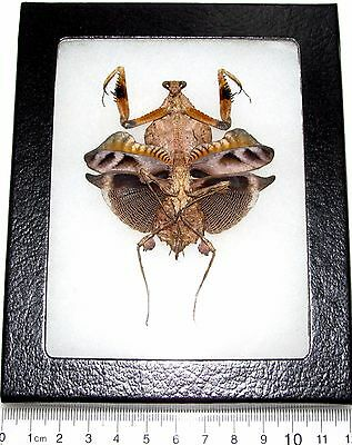 Real Framed Praying Mantis Deroplatys Lobata Dead Leaf Mantis Female