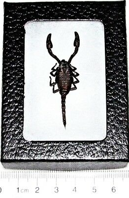 Real Framed Black Scorpion Arachnid Stinger