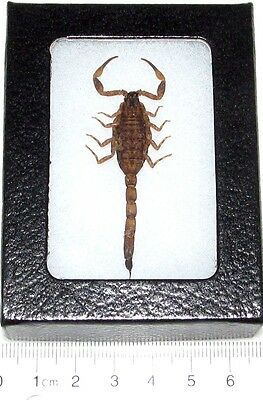 Real Framed Golden Desert Bark Scorpion Arachnid Stinger