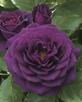 """Bare rooted Rose Plant """"EBB TIDE"""""""