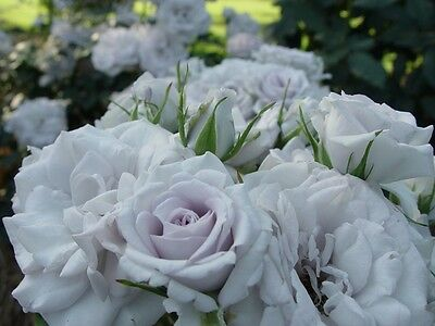 """Bare rooted Rose Plant """"Man of Steel"""""""