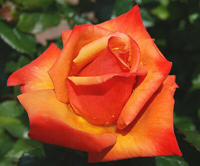 """Bare rooted Rose Plant """"Remember Me"""""""