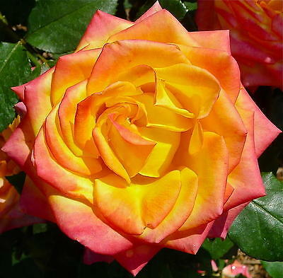 """Bare rooted Rose Plant """"MAGMA"""""""