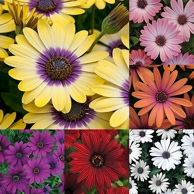 Hardy Osteospermum Serenity Series Plant 9cm Pot Insect Friendly Perennial Plant