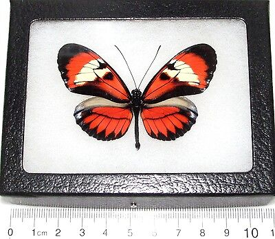 Real Framed Butterfly Peruvian Heliconius Hybrid Form H8