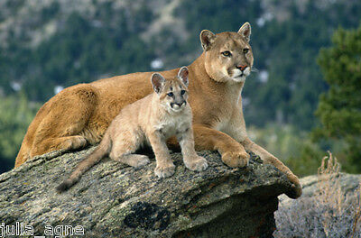 New NICE CUTE of The King Mountain Lion With Sons In Hill