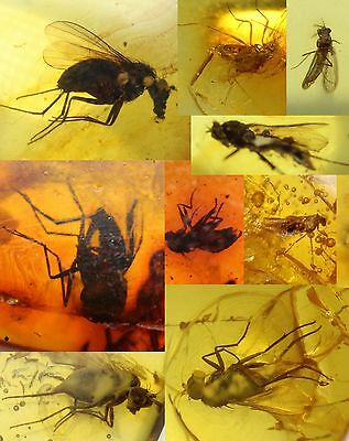 Baltic Amber, Lot of 10 Pieces with fossil Insect inclusions, Fly/winged insect