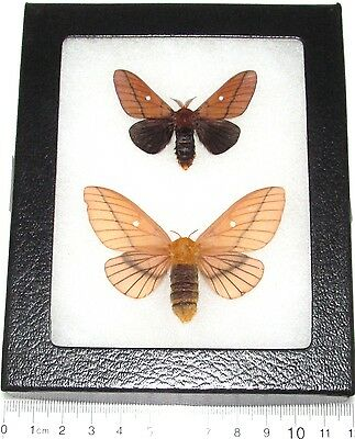 Real Framed Moth Anisota Dissimilis Pair Male Female Rare
