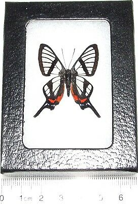 Real Framed Butterfly Glass Clear Wing Chorinea Sylphinia Peru