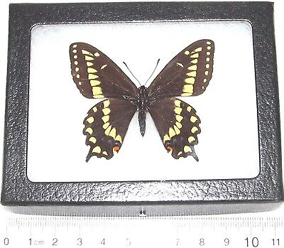 Real Framed Butterfly Papilio Brevicauda Swallowtail Canada