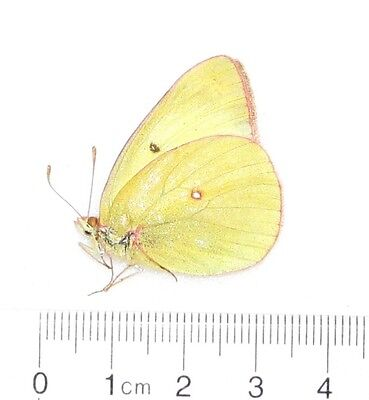 Colias Occidentalis Cascadia Female Oregon Rare A1 Unmounted Papered