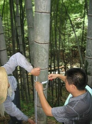 200 Moso bamboo Seeds Phyllostachys Pubescens Giant plant