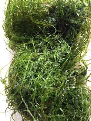 Java moss - 20g - Live Aquarium Aquatic Plants