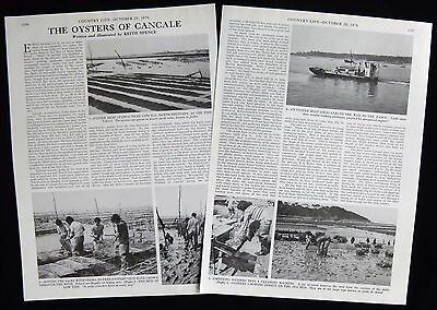 OYSTER FISHING IN CANCALE BRITTANY FRANCE 2pp PHOTO ARTICLE 1976