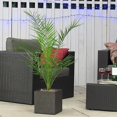Phoenix Palm Tree Outdoor Garden Exotic Tropical Plant In Pot Hardy 1.2 Tall UK