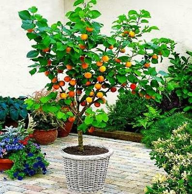 2 X fruit TREES  *A Pear tree and an Apple tree ! -ideal for patio! (pot grown!