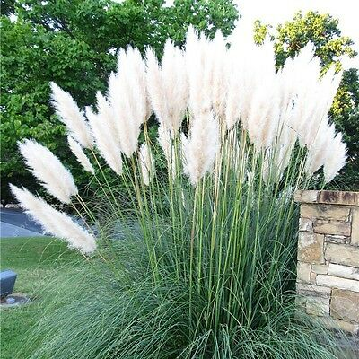 1 Pack 400 White Pampas Garss Seeds Cortaderia Selloana Ornamental Flowers S051