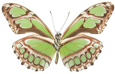 One Real Butterfly Green Philaethria Dido V Peru Papered Unmounted Wings Closed