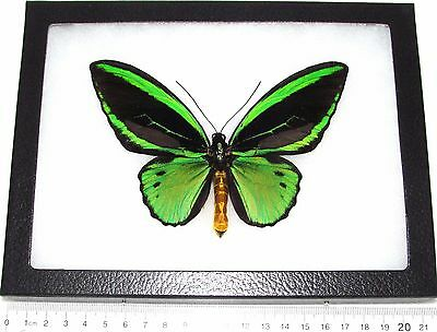 Real Framed Butterfly Green Black Ornithoptera Priamus Poseidon Birdwing Arfak