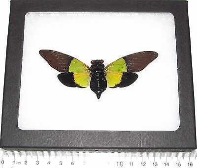 Real Framed Cicada Green Black Terengganu Sybylla