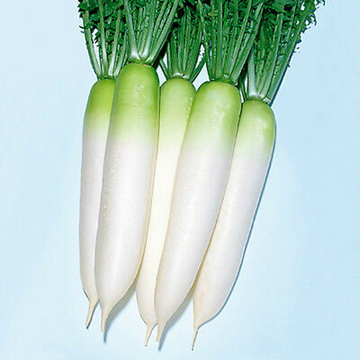 Radish DAIKON (Long White) 50 Seeds (HEIRLOOM / ORGANIC) Vegetables