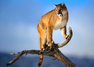 New NICE CUTE of The King Mountain Lion in Tree
