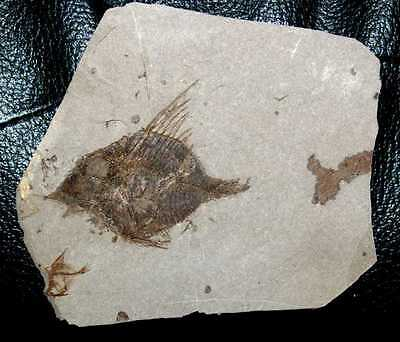 Antigonia - Beautiful, extremely rare fossil fish - Museum quality specimen
