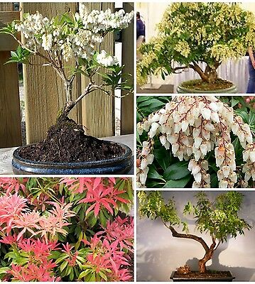 Lily Of The Valley, Pieris Japonica! Hardy shrub! ideal for bonsai too! Hardy