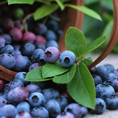 50 Pcs Blueberry Tree Seed Fruit Blueberry Seed Potted Bonsai Seeds Plant Calm